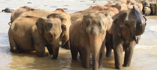 srilanka-2B-2Belephants